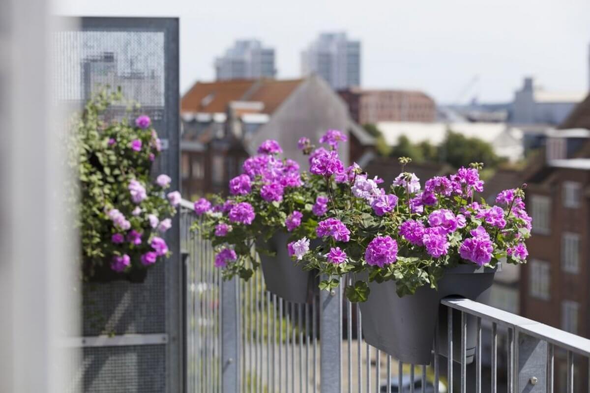 Od lat absolutną gwiazdą wśród roślin balkonowych jest pelargonia. I nic dziwnego: ta kochająca słońce piękność nie tylko urzeka obfitością kwiatów i różnorodnością kształtów, ale także jest bardzo łatwa w pielęgnacji.